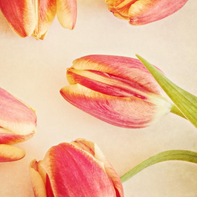 """Five Tulips"" stock image"