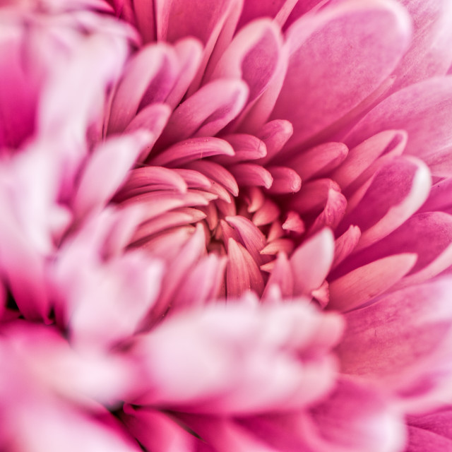 """Chrysanthemum study"" stock image"