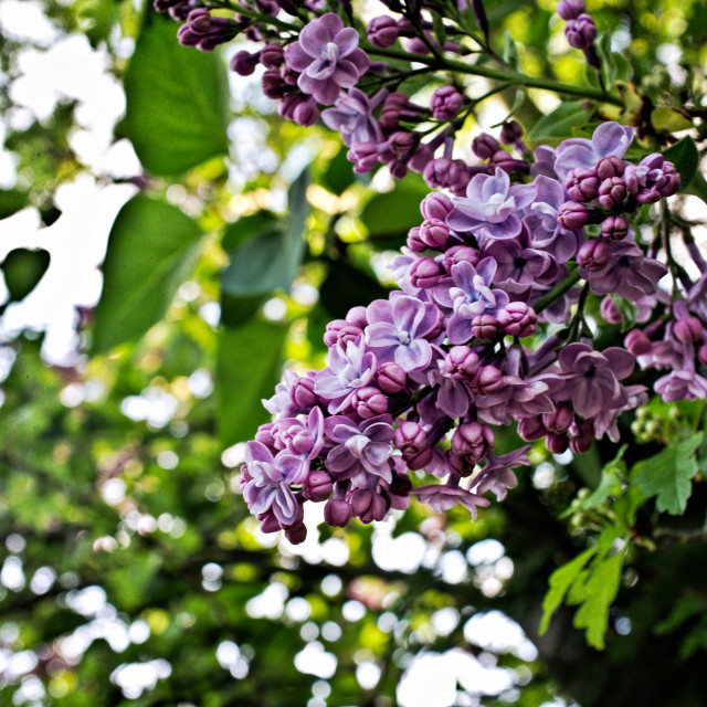 """""""Lilac Flowers"""" stock image"""