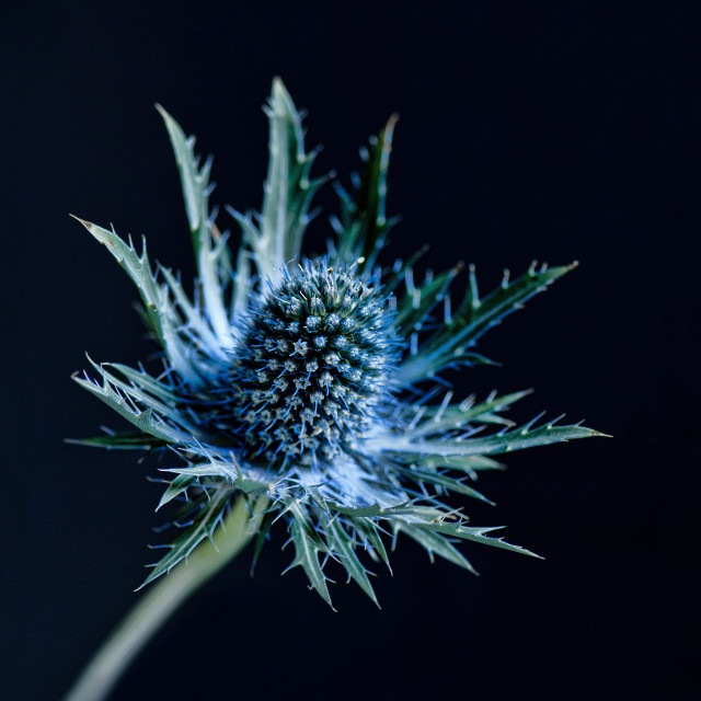 """Blue thistle"" stock image"