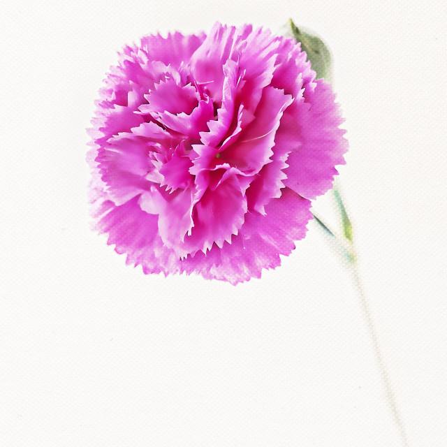 """""""Pink carnation"""" stock image"""