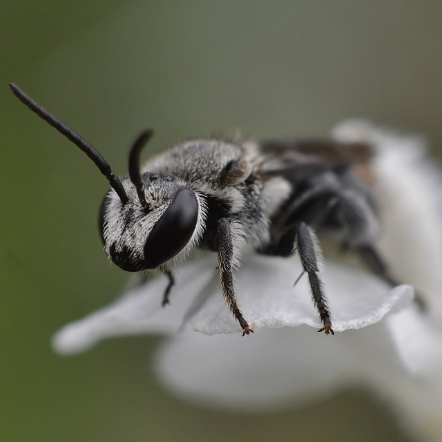 """""""Native Bee On White Flower"""" stock image"""