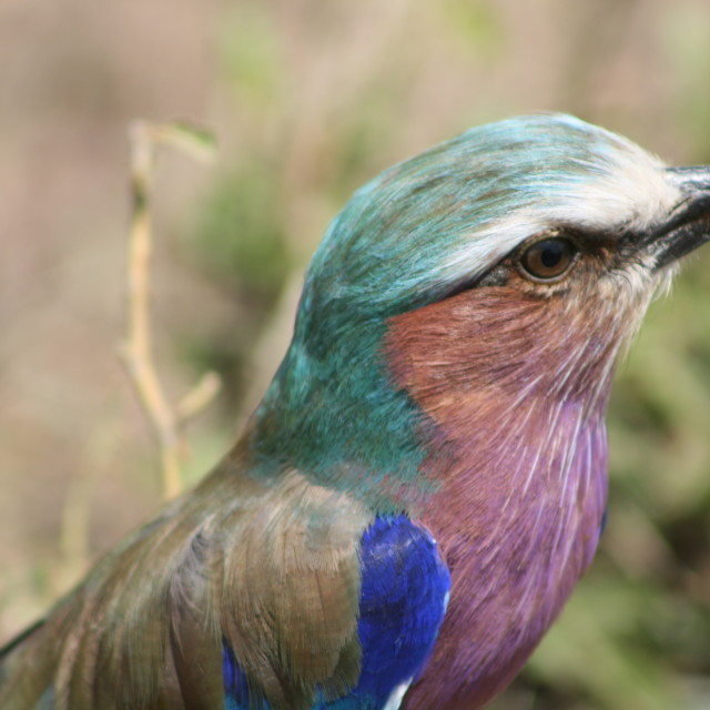 """Lilac-breasted Roller"" stock image"