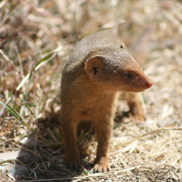 """Mongoose on the loose"" stock image"