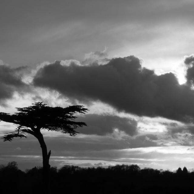 """Cedar tree - monochrome"" stock image"