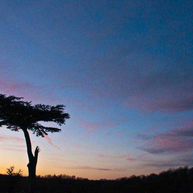"""Cedar tree at sunset"" stock image"