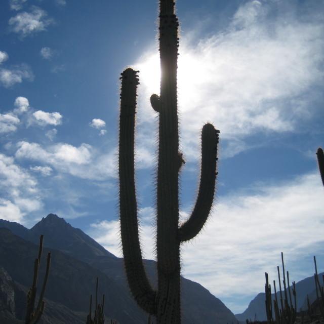 """Cactus Forest, Cotahuasi Canyon, Peru"" stock image"