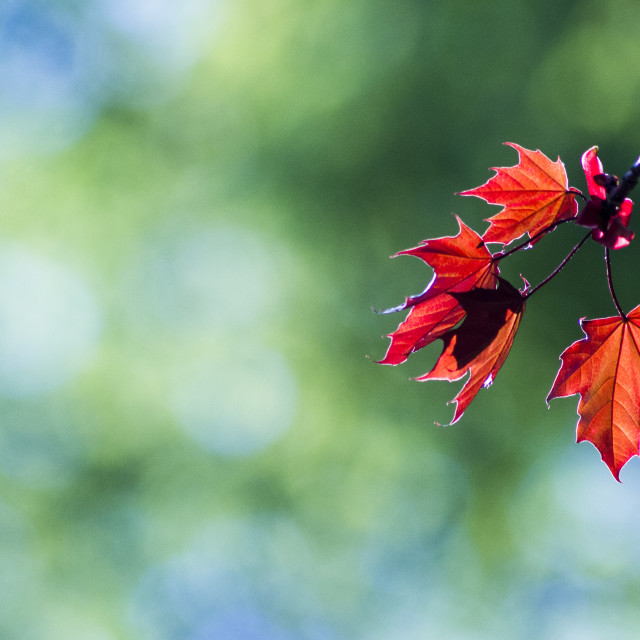 """Red Leaves!"" stock image"