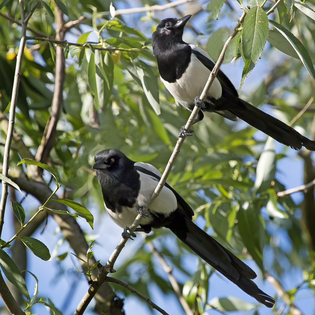 """""""Magpies"""" stock image"""