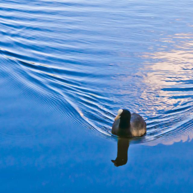 """Moorhen swimming"" stock image"