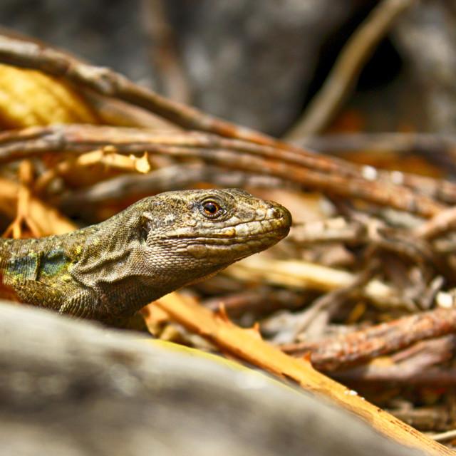 """Tenerife lizard"" stock image"