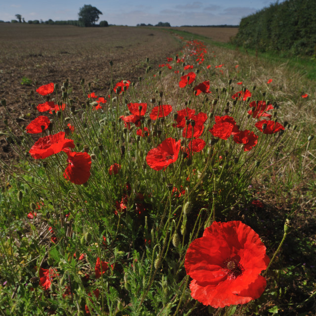 """Poppies at field margin, Norfolk"" stock image"