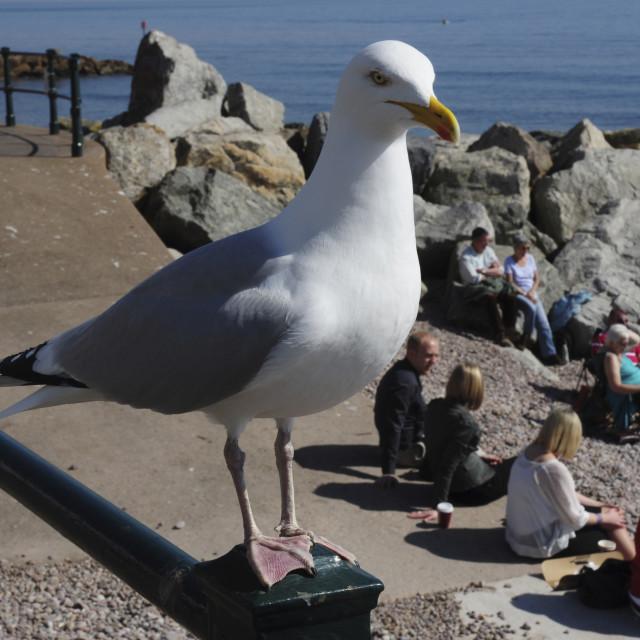 """Herring Gull (Larus argentatus) - Watching over you"" stock image"