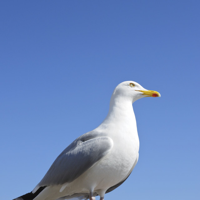 """""""Herring Gull (Larus argentatus)"""" stock image"""