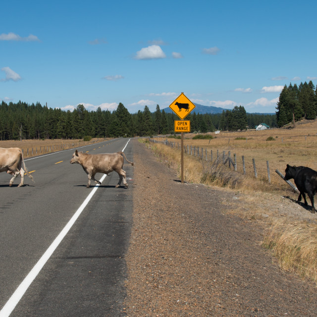 """Cows crossing the road at an ""Open Range"" sign."" stock image"