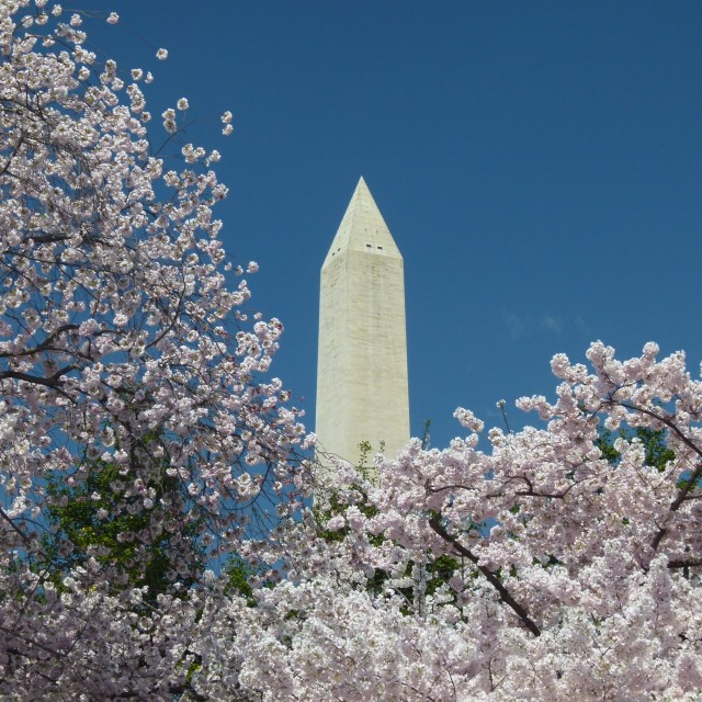 """Washington Monument & cherry blossom (version 1)"" stock image"