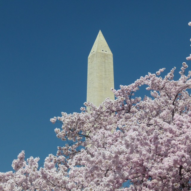 """Washington Monument & cherry blossom (version 2)"" stock image"