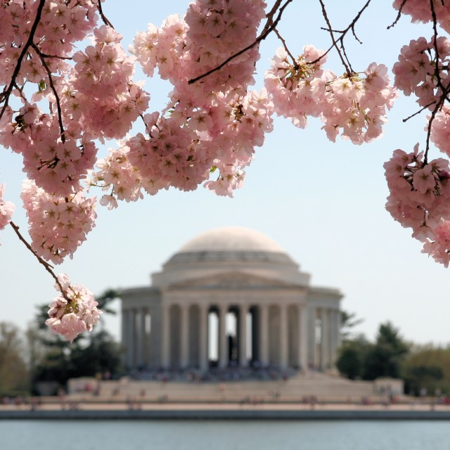 """Cherry blossom in DC"" stock image"