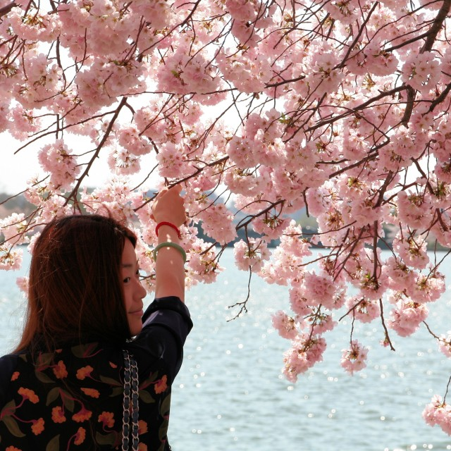 """Girl posing with cherry blossom"" stock image"