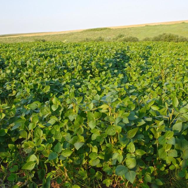 """""""Soya field"""" stock image"""