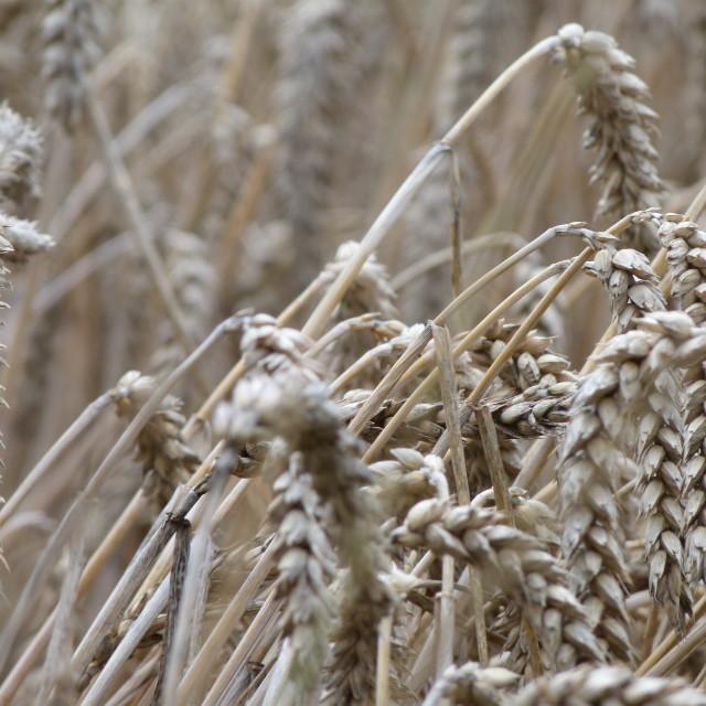 """wheat close up"" stock image"