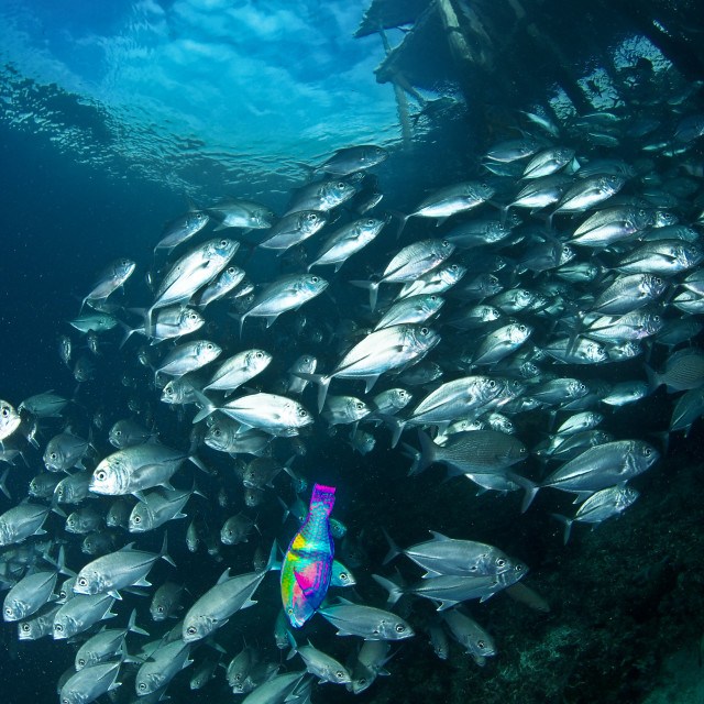 """Odd one out -Jacks and the lonely parrotfish"" stock image"