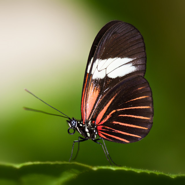"""Red Postman Butterfly"" stock image"