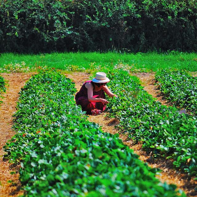 """Fruit pickers"" stock image"