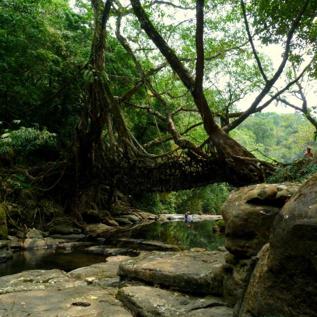 """""""Amazing Root bridge!"""" stock image"""