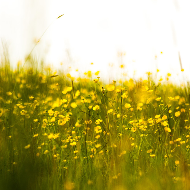"""Buttercups"" stock image"