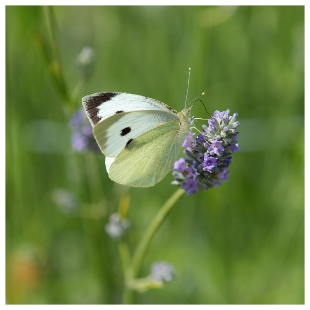 """""""Cabbage White on Lavender"""" stock image"""