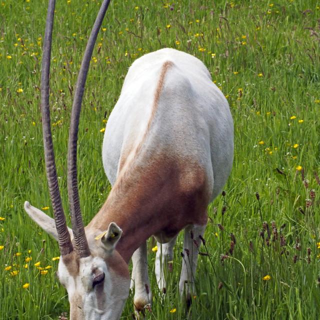 """Scimitar Oryx"" stock image"