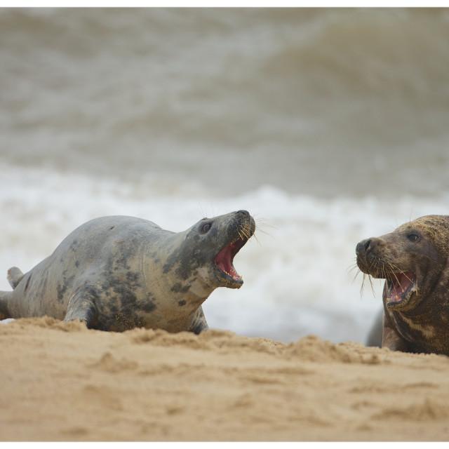 """Horsey Gaps Seals"" stock image"