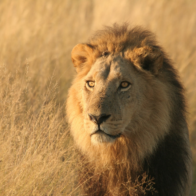 """Male Lion at sunrise, Okavango"" stock image"