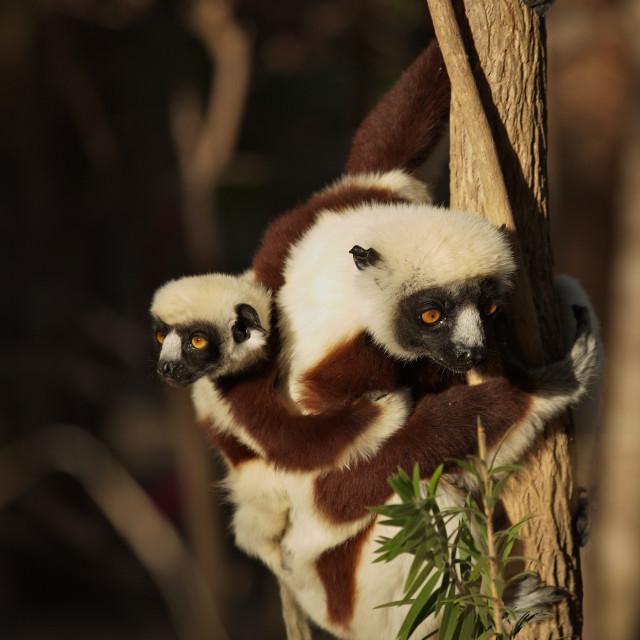"""""""Cockerel's Sifaka, Madagascar"""" stock image"""