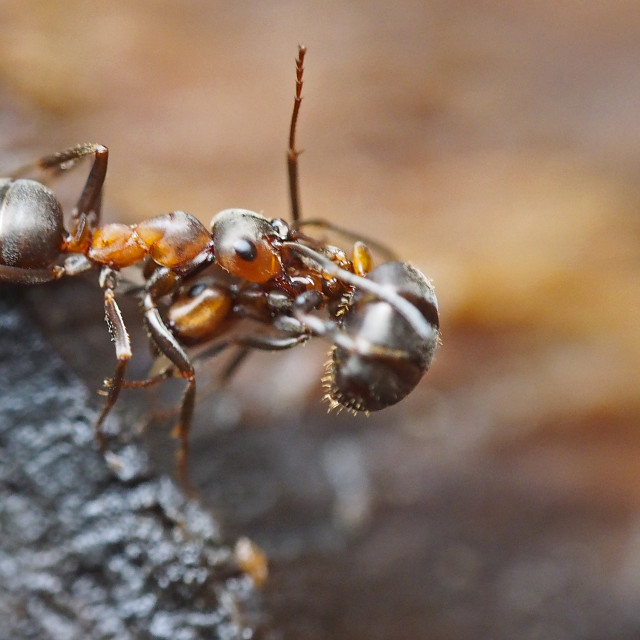 """Scottish wood ant"" stock image"