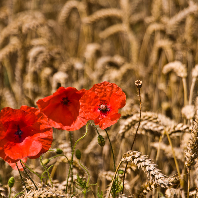 """Poppies and corn"" stock image"