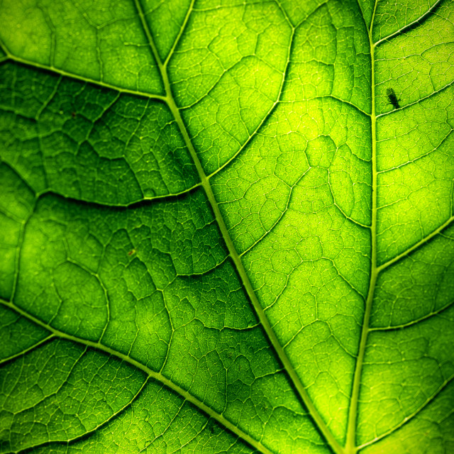 """Backlit Leaf"" stock image"