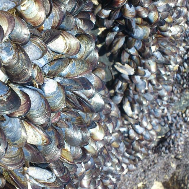 """Cornish Mussels"" stock image"