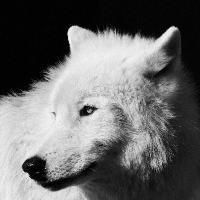 """Arctic Wolf"" stock image"
