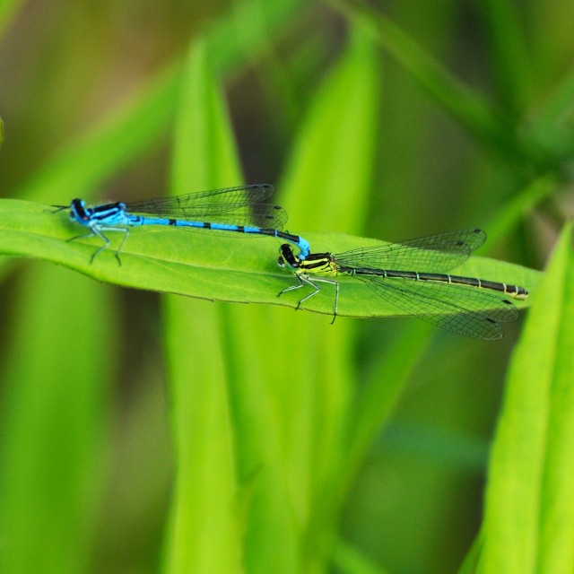 """Dragonflies"" stock image"