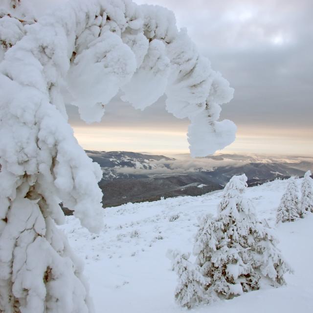 """Snowy fir"" stock image"