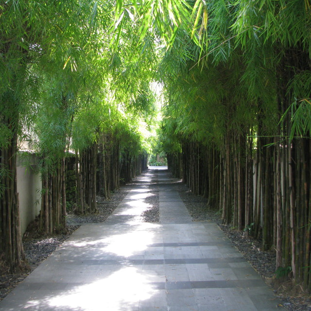 """Bamboo Avenue"" stock image"