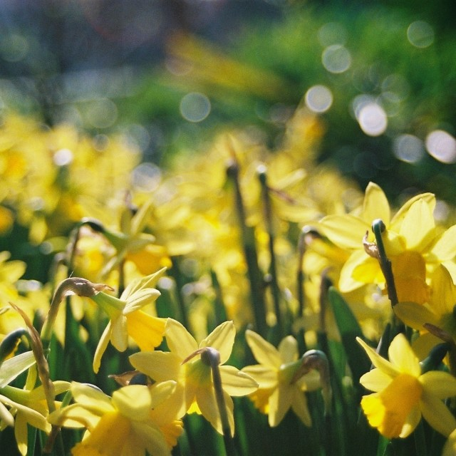 """Daffodils 1"" stock image"