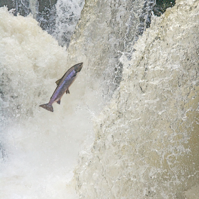 """Leaping Salmon"" stock image"