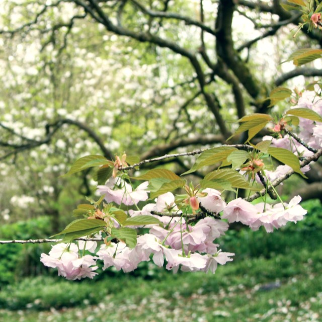 """Blossom branch"" stock image"