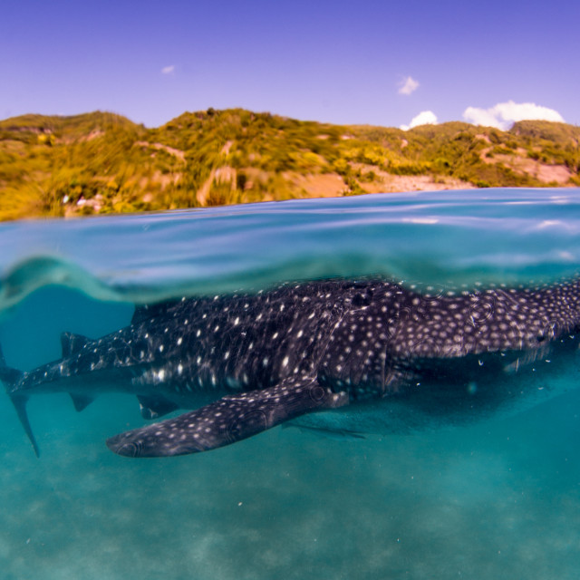 """Whale shark split 1"" stock image"