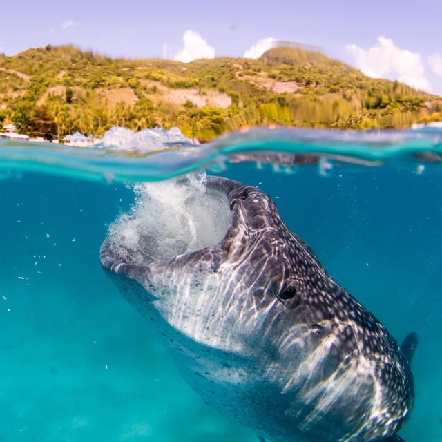 """Whale shark feeding 2"" stock image"