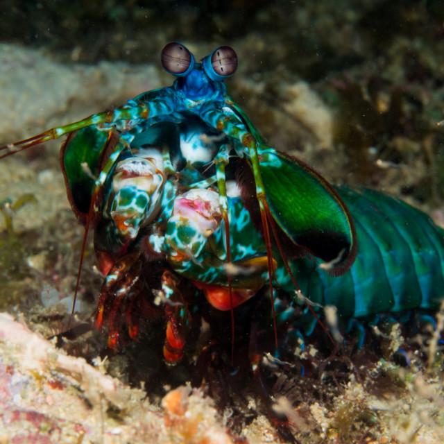 """Peacock mantis shrimp 2"" stock image"