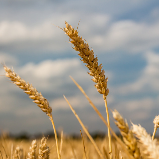 """Wheat field"" stock image"